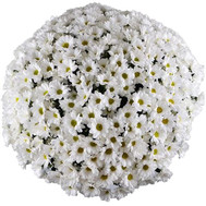 A chic bouquet of 51 white chamomile flowers - flowers and bouquets on roza.ck.ua