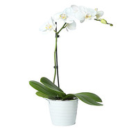 Phalaenopsis white orchid - flowers and bouquets on roza.ck.ua