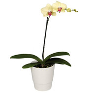 """Phalaenopsis yellow orchid"" in the online flower shop roza.ck.ua"