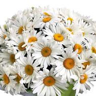 Ромашки для любимой - цветы и букеты на roza.ck.ua