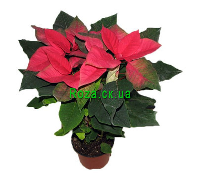 """Poinsettia"" in the online flower shop roza.ck.ua"
