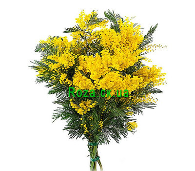 """Buy a mimosa in Cherkassy"" in the online flower shop roza.ck.ua"
