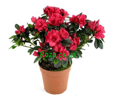 """""""Azalea"""" in the online flower shop roza.ck.ua"""