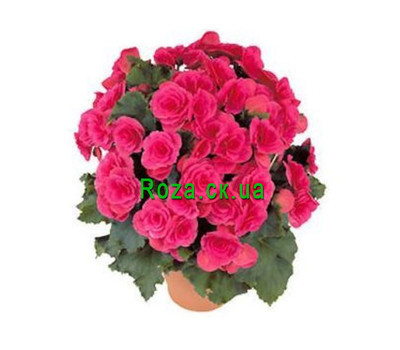 """Begonia"" in the online flower shop roza.ck.ua"
