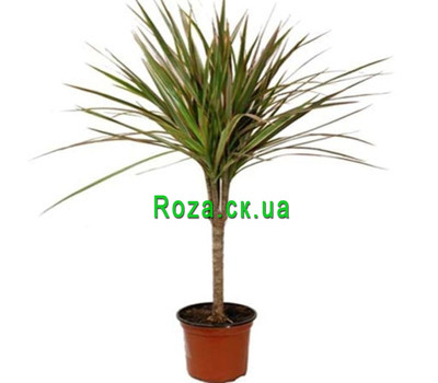 """Dracaena"" in the online flower shop roza.ck.ua"
