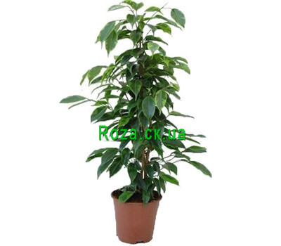 """Ficus"" in the online flower shop roza.ck.ua"
