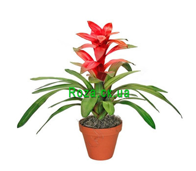 """Guzmania"" in the online flower shop roza.ck.ua"
