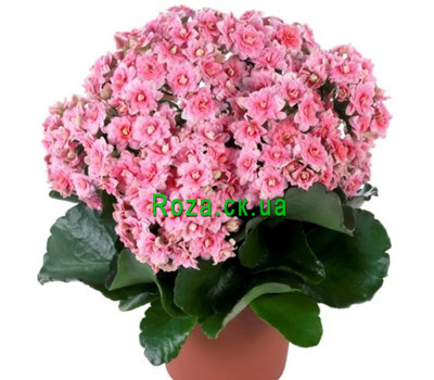 """Kalanchoe"" in the online flower shop roza.ck.ua"