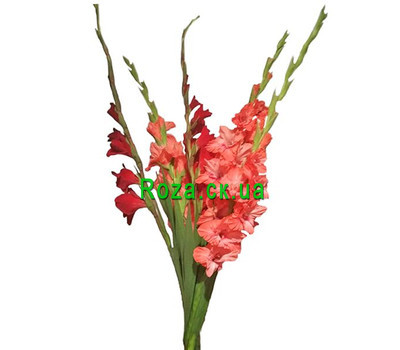 """5 gladioli in bouquet"" in the online flower shop roza.ck.ua"