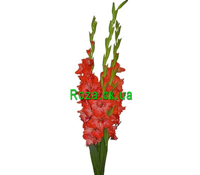 """Mini-bouquet of gladioli"" in the online flower shop roza.ck.ua"