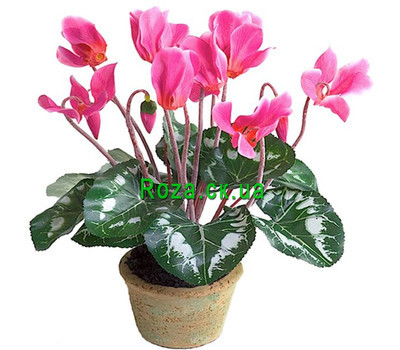 """Cyclamen in a pot"" in the online flower shop roza.ck.ua"
