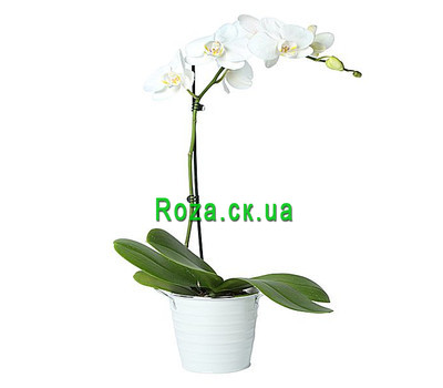 """Phalaenopsis white orchid"" in the online flower shop roza.ck.ua"
