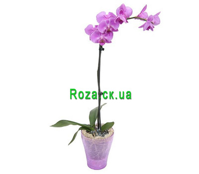 """Phalaenopsis pink orchid"" in the online flower shop roza.ck.ua"
