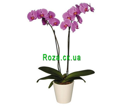 """Orchid pink"" in the online flower shop roza.ck.ua"