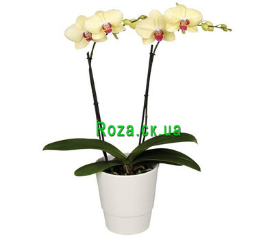 """Orchid yellow"" in the online flower shop roza.ck.ua"