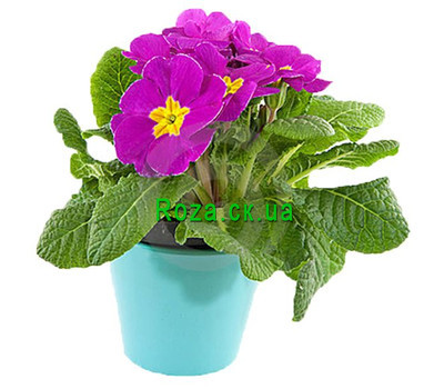 """Primrose"" in the online flower shop roza.ck.ua"