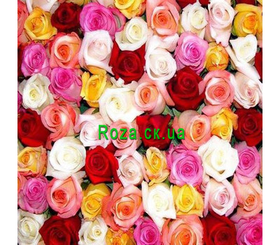 """Multicolored roses (by the piece)"" in the online flower shop roza.ck.ua"
