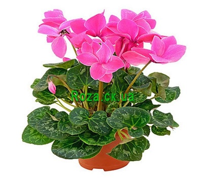"""The Pink Cyclamen"" in the online flower shop roza.ck.ua"